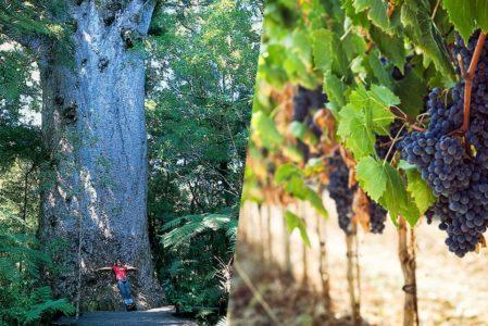 ワイナリーとカウリの巨木